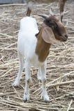 Портрет козы, положение козы, улыбка козы Стоковая Фотография RF