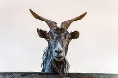 Портрет козы Стоковые Фотографии RF