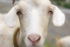 Портрет козы Стоковое Изображение