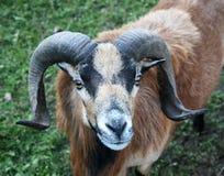 Портрет козы Mouflon Стоковые Изображения