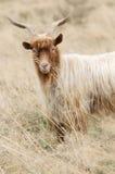 Портрет козы redhead на выгоне Стоковые Фотографии RF