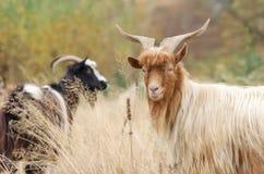 Портрет козы redhead на выгоне Стоковое Фото