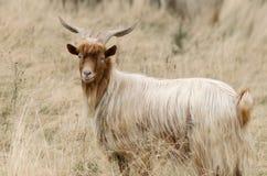 Портрет козы redhead на выгоне Стоковые Фото