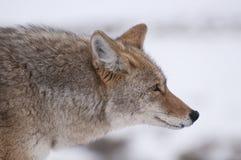 портрет койота Стоковые Фотографии RF