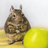 Портрет конца-вверх белки degu милой животной малой чилийки любимчика общей сидя с большим зеленым яблоком Концепция здорового li стоковая фотография rf