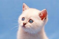 Портрет конца-вверх белого великобританского котенка с голубыми глазами стоковое фото rf