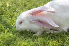 Портрет конца-вверх белого зайчика с глазами и ушами пинка, пася зеленую траву Стоковая Фотография
