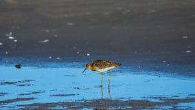 Портрет конца-вверх бечевника pugnax Ruff или Philomachus Shorebird на море, выборочный фокус, мелкий DOF стоковая фотография rf