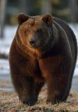 Портрет конца-вверх взрослого мужчины бурого медведя (arctos Ursus) Стоковое Изображение RF