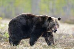 Портрет конца-вверх взрослого мужчины леса бурого медведя (arctos Ursus) весной Стоковые Изображения