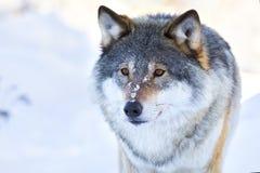 Портрет конца-вверх волка в зиме Стоковые Фото