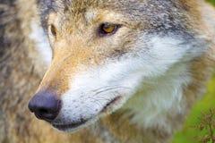 Портрет конца-вверх головы волка Стоковые Фото