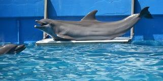 Портрет конца-вверх дельфина в бассейне Стоковые Изображения RF