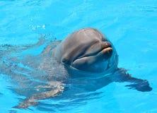 Портрет конца-вверх дельфина в бассейне Стоковая Фотография RF