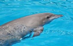 Портрет конца-вверх дельфина в бассейне Стоковое фото RF
