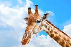 Портрет конца-вверх жирафа над голубым небом с белыми облаками стоковое фото