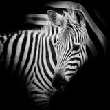 Портрет конца-вверх зебры младенца Стоковые Изображения RF