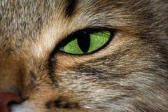 Портрет конца-вверх кота наблюданного зеленым цветом сибирского Стоковые Фото