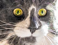 Портрет конца-вверх кота с желтыми глазами вытаращить на камере стоковое фото rf