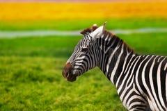 Портрет конца-вверх красивой африканской зебры Стоковое Изображение RF