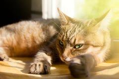 Портрет конца-вверх красивой домашней кошки Стоковое Фото