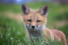 Портрет конца-вверх красного Fox младенца стоковое изображение
