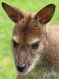 Портрет конца-вверх красно-necked wallaby ` s Bennett wallaby стоковое фото rf