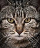 Портрет конца-вверх милого кота смотря прямо на камере стоковые фото