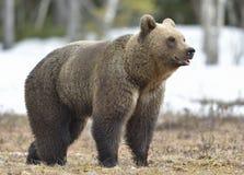 Портрет конца-вверх молодого бурого медведя (arctos Ursus) на лесе болота весной Стоковые Фото