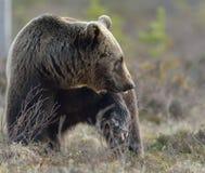 Портрет конца-вверх молодого бурого медведя (arctos Ursus) Стоковые Изображения RF