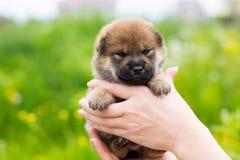Портрет конца-вверх прелестного щенка inu shiba 2 недель старого в руках предпринимателя в луге лютика стоковые фотографии rf