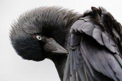 Портрет конца-вверх прихорашиваясь monedula Corvus галки на whi Стоковые Изображения
