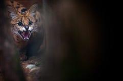 Портрет конца-вверх рыся в лесе Стоковая Фотография RF