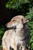 Портрет конца-вверх серого волка стоковые фото