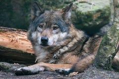 Портрет конца-вверх серого волка с запачканной предпосылкой стоковые изображения
