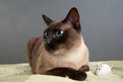 Портрет конца-вверх сиамского кота стоковые фотографии rf