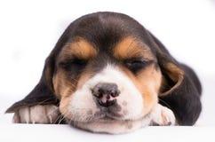 Портрет конца-вверх спать собаки стоковые фотографии rf