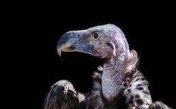 Портрет конца-вверх хищника Griffon Стоковые Фотографии RF