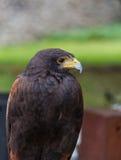 Портрет конца-вверх хищной птицы беркута Стоковое Фото