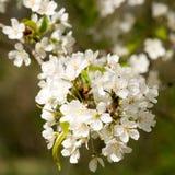 Портрет конца-Вверх blossoming одичалой вишни Стоковая Фотография RF