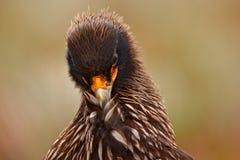 Портрет конца-вверх caracara Strieted хищных птиц, Phalcoboenus australis Caracara сидя в траве в Фолклендских островах, a Стоковые Изображения