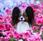 Портрет конца-вверх papillon Красивая собака в розовых цветах Стоковое фото RF