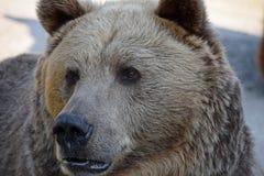 Портрет конца мужчины бурого медведя вверх Стоковые Фото