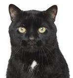 портрет конца черного кота вверх Стоковая Фотография RF