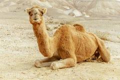Портрет коричневого верблюда в пустыне лета Wilderlife сафари восточное Стоковые Изображения RF