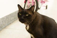 Портрет коричневого кота Стоковое Изображение