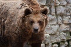 Портрет коричневого медведя Стоковая Фотография RF