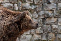 Портрет коричневого медведя Стоковые Фотографии RF