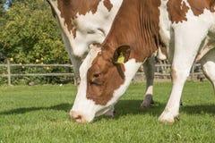 Портрет коричневой и белой коровы есть снаружи травы стоящее Стоковое фото RF