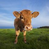 Портрет коричневой коровы стоковая фотография